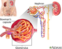 Glomerulus and nephron