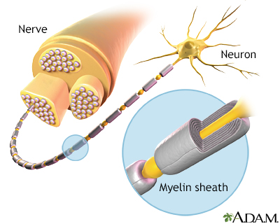 Myelin and nerve structure